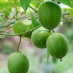 lo han guo - buddha fruit